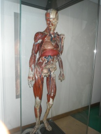 """Eric"" is an 83 year old cardboard anatomical model"